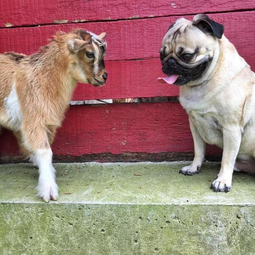 Pug and Baby Goat