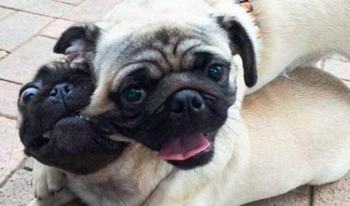 Pugs playfully biting